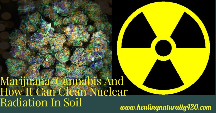 How Cannabis Cleans up Nuclear Radiation and Toxic Soil